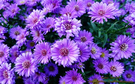 plant with purple flowers purple flowers wallpapers wallpaper cave