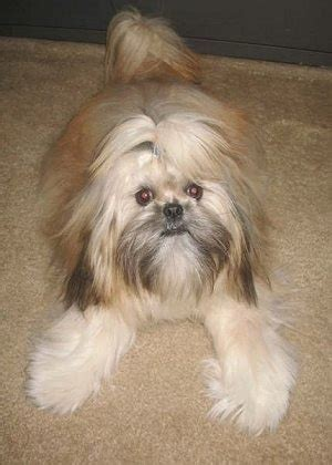 shih tzu grown up shinese breed pictures 1