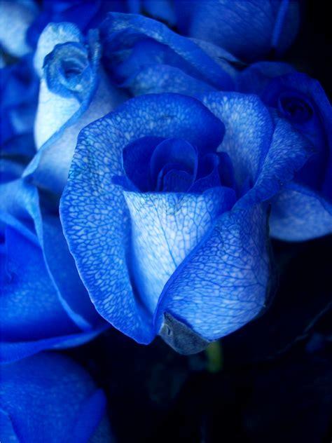 macam macam mawar beserta maknanya