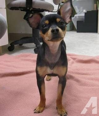 chihuahua weiner mix chihuahua chihuahua dachshund mix small for sale in
