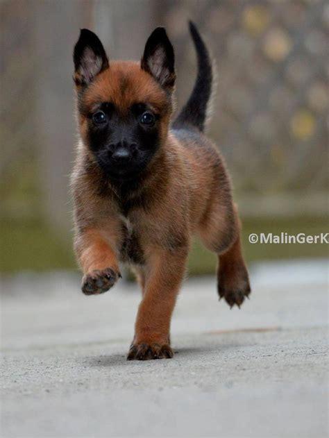 belgium malawa puppies belgium malawa puppies goldenacresdogs