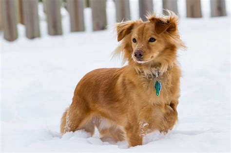 breed similar to golden retriever miniature dachshund dogs breeds picture