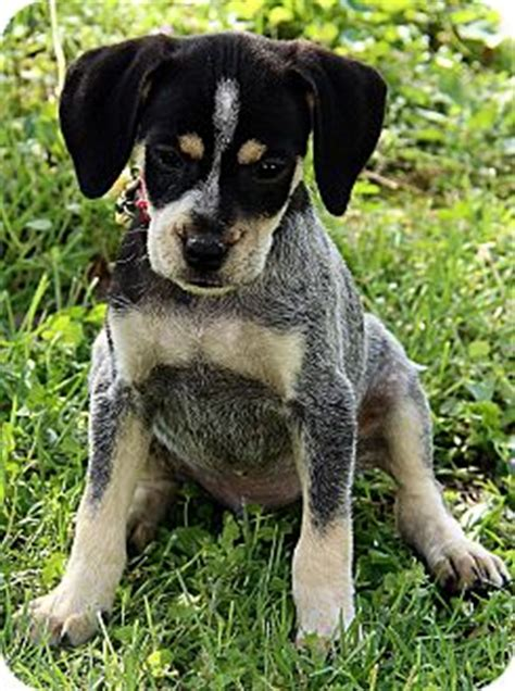 pugs for sale rochester ny boston terrier blue heeler mix puppies dogs breeds picture