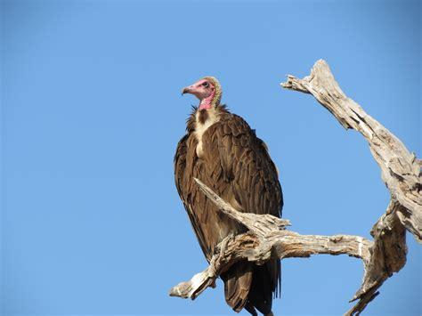file hooded vulture jpg
