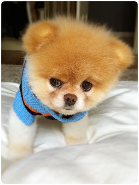 Boo Boo The by Boo The Pomeranian Puppy Puppies I