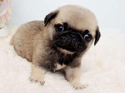 tiny teacup pugs everest pug tiny teacup pups