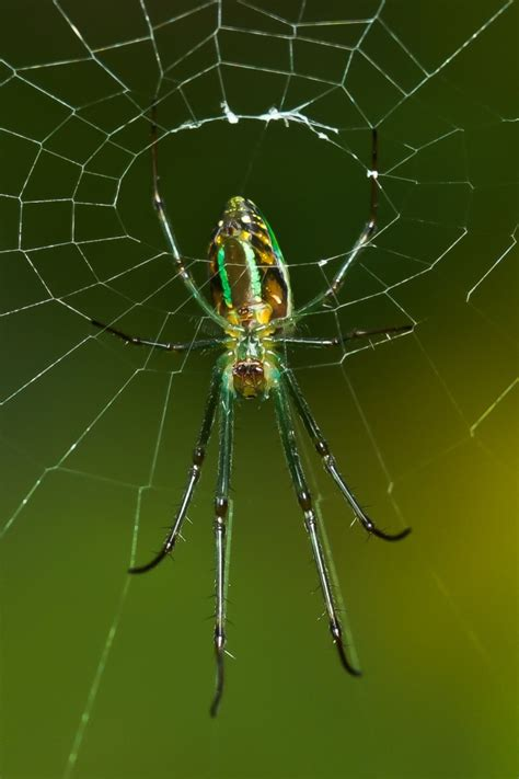 Garden Spider Totem 17 Best Images About Spiders On Peacocks