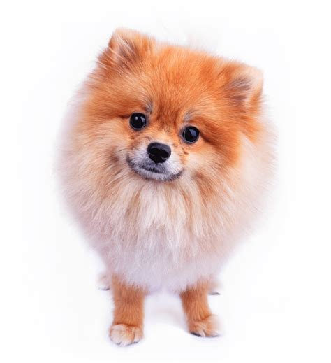 looking for pomeranian to breed pomeranian breeders australia pomeranian info puppies