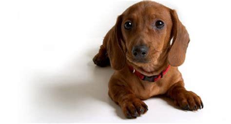 how to spell puppy i my dachshund dachshund dackel teckel