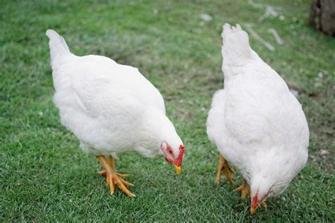 buy plymouth rock chickens white plymouth rock chicken facts essay