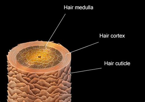 hair cross section about hair fitoval