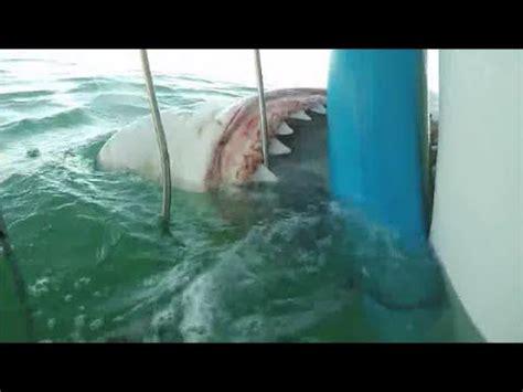 gabbia squali sudafrica squalo bianco attacca una gabbia di sub