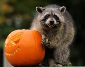 raccoon with carved pumpkin halloween photograph home