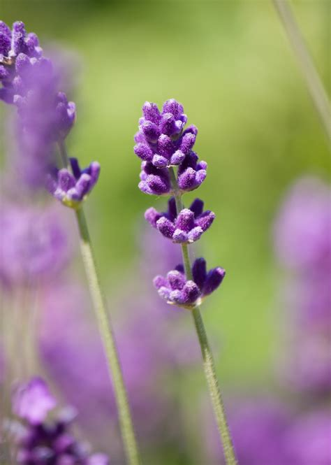 Lavender Flowers lavender flower up free stock photo domain pictures