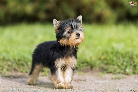 how is a yorkies span 10 breeds with lifespan