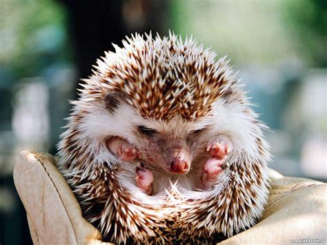 Hedgehog Care Baby Hedgehogs Hedgehog Pictures