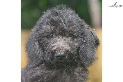 Non Shedding Labradoodle labradoodle puppy for sale near west palm florida