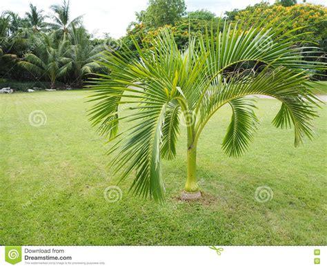 palma da giardino palme nane da giardino idee per la casa syafir