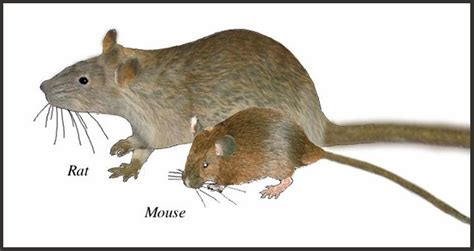 what is the difference between a rat and a mouse the
