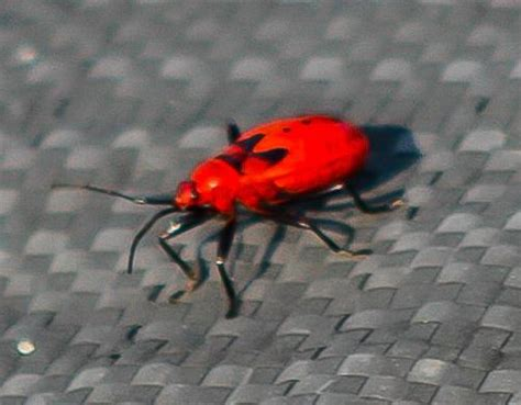 red bed bugs immature hemipteran from china might be red bug what s that bug
