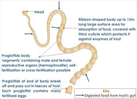 diagram of tapeworm liver fluke earthworm hydra with labelling 10092557 meritnation types of heterotrophic nutrition parasitic tutorvista