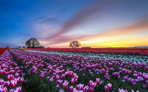 wallpaper flower scenery download wallpaper 1920x1200 tulips flower field evening