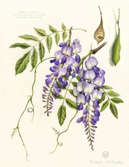 wendy hollender american society of botanical artists