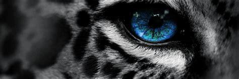 wallpaper blue eyes hd leopard wallpaper blue eyes hd desktop wallpapers 4k hd