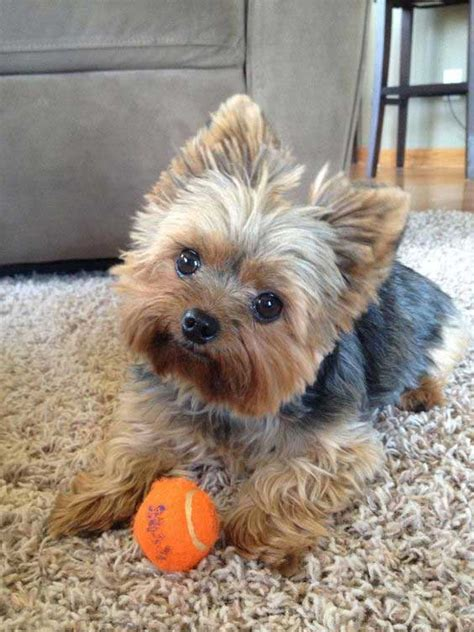 what do yorkies like to do for yorkie puppy cut what is a puppy cut yorkiemag