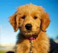 goldendoodle puppy barking goldendoodles on goldendoodle doodles and