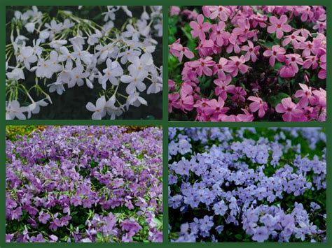 flowering wintergreen ground covers for shade carolyn s