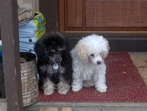 poodles puppies file parti poodle puppies 1 jpg