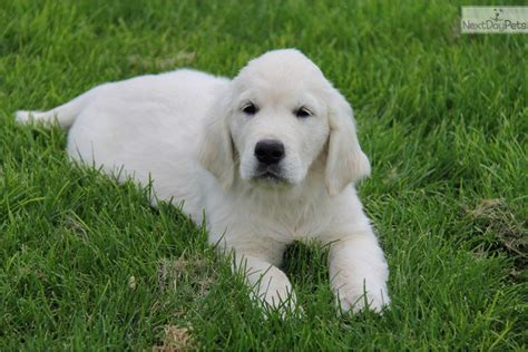 golden retriever puppies dayton ohio golden retriever puppies for sale in dayton ohio dogs in our photo