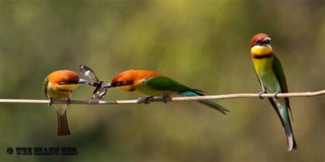 courtship feeding of the chestnut headed bee eater bird
