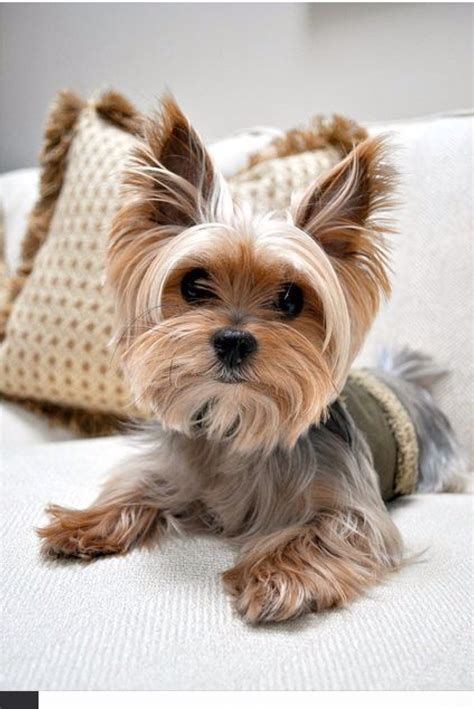 images of yorkie yorkie yorkies
