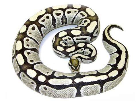 ball python heat l 78 best images about ball pythons and tank ideas on
