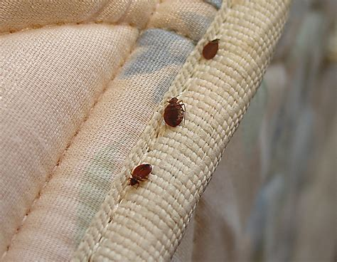 bed bug on mattress bed bugs pester san francisco s public housing my