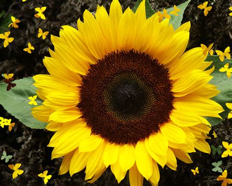 colors of sunflowers sunflower flower facts sunflower flower meaning color