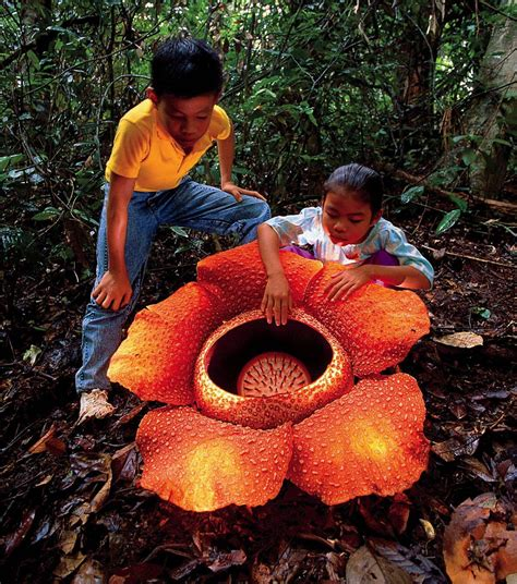 largest flower in the world the largest flower in the world is a parasite harvard
