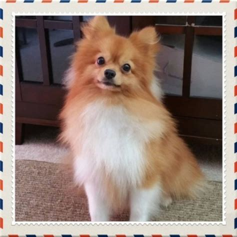 chihuahua mixed with pomeranian chihuahua pomeranian mix breed photos thriftyfun