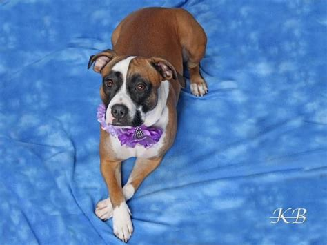 dogs for adoption in nebraska 17 best images about dogs needing homes on adoption pit bull mix and