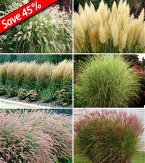 delphinium pagan purples perennial larkspur larkspur grasses and ornamental grasses