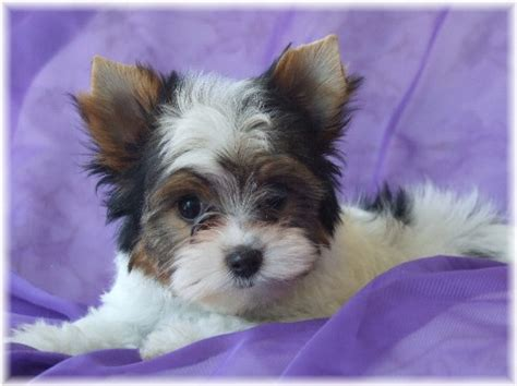 yorkie breeders in illinois parti yorkie puppies for sale illinois breeds picture