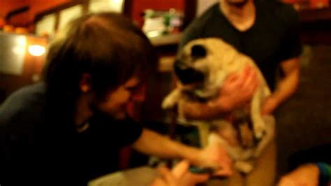 screaming pugs screaming pug hates nail clippers