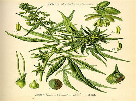 canapé bouche dali la canapa in cucina dal pesto di cannabis alla spuma di
