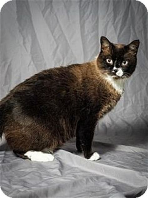 adoption tulsa tulsa ok domestic shorthair meet slim a cat for adoption