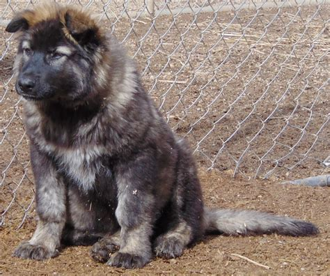 direwolf puppies buying a dire wolf the schwarz kennels
