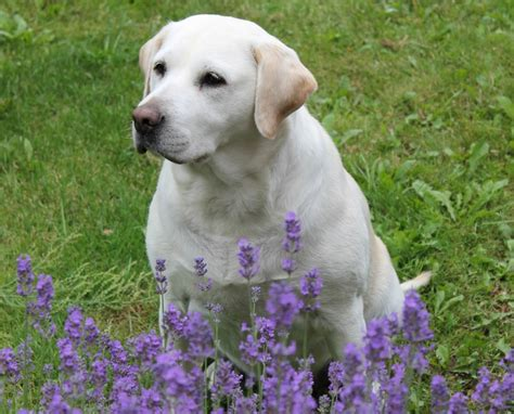 lavender on dogs the benefits of essential oils for dogs miss molly says