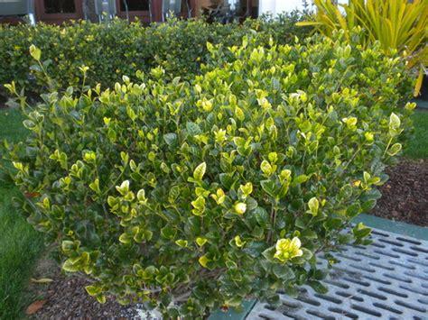 gardenia jasminoides mystery mystery gardenia grows