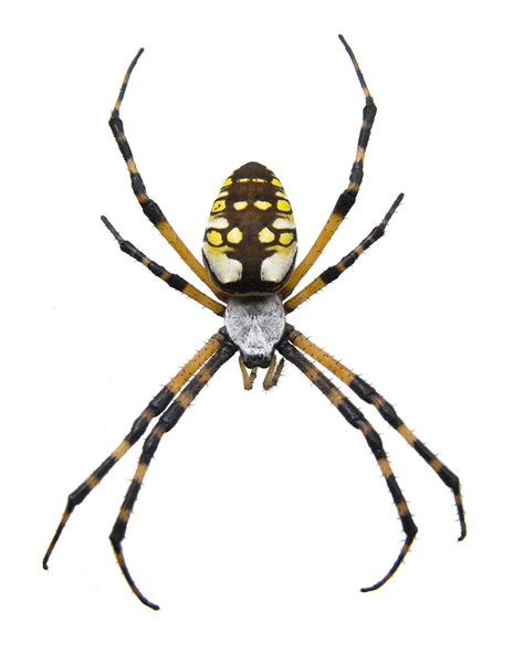 Garden Spider Info Black And Yellow Garden Spider Pest Facts